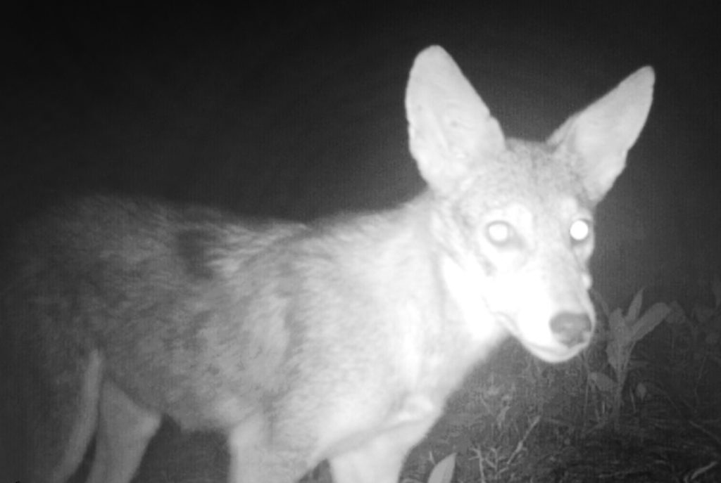 Coyotes Try To Eat My Trail Camera