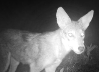Watch: Coyotes Try To Eat My Trail Camera!