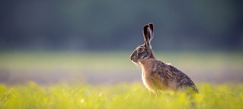 Rabbit in a field waiting to be luted