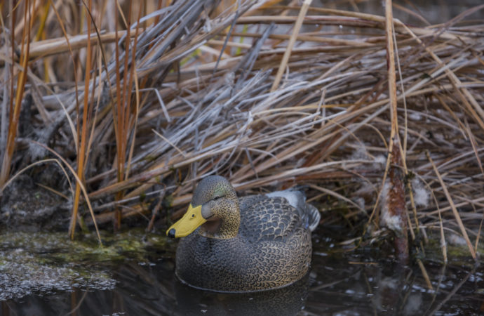 A mallard hen decoy in marsh