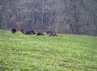 Locator Calls and the Shock Gobble Response